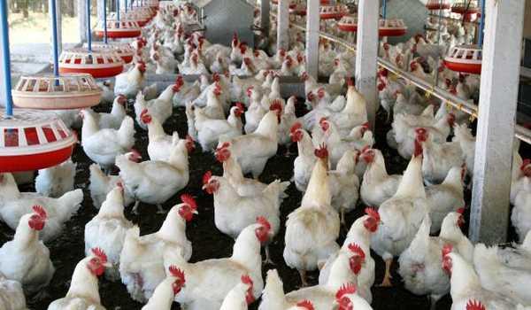 Dengan melakukan analisis terhadap peluang usaha ayam potong kemitraan, maka bukan hal yang sulit untuk membuat usaha ini menjadi lebih berkembang