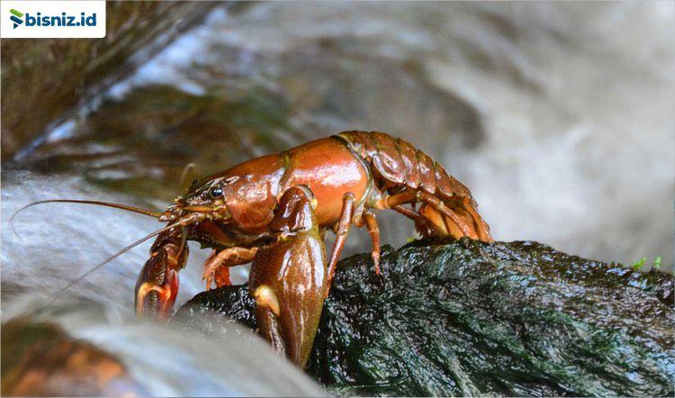 bisnis lobster air tawar