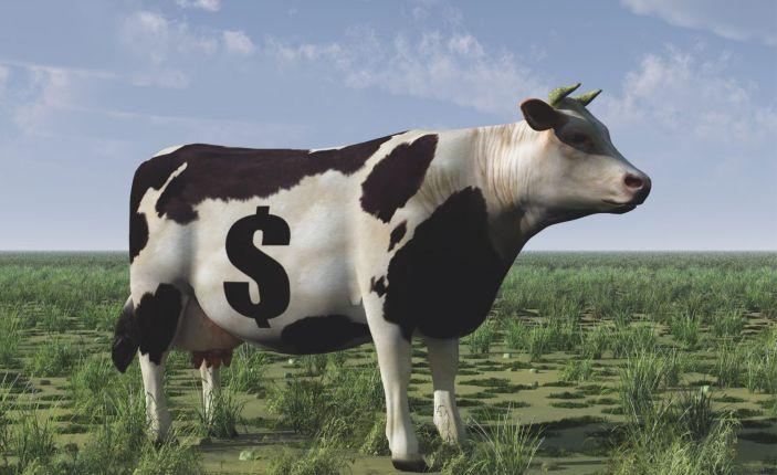 cara ternak sapi untuk pemula