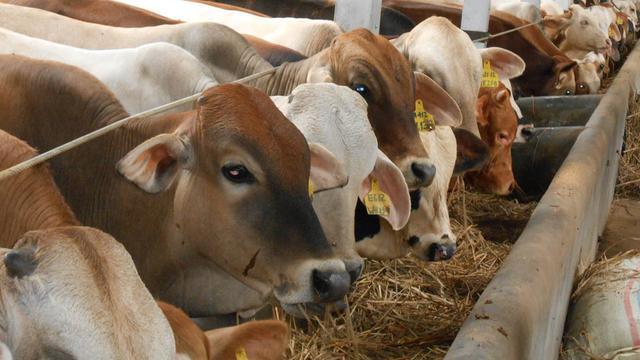 usaha ternak sapi
